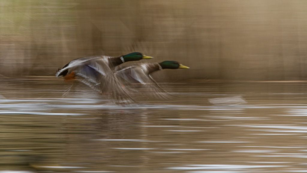chasing ducks